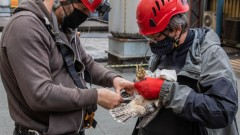 Trojaczki z rodziny sokołów wędrownych z Elektrowni Bełchatów zostały zaobrączkowane